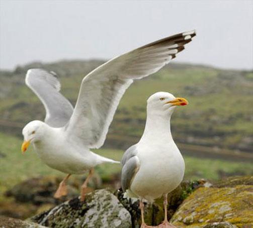herring-gull-4.jpg