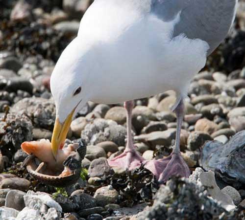 herring-gull-5.jpg