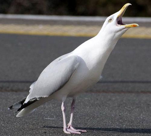 herring-gull-6.jpg