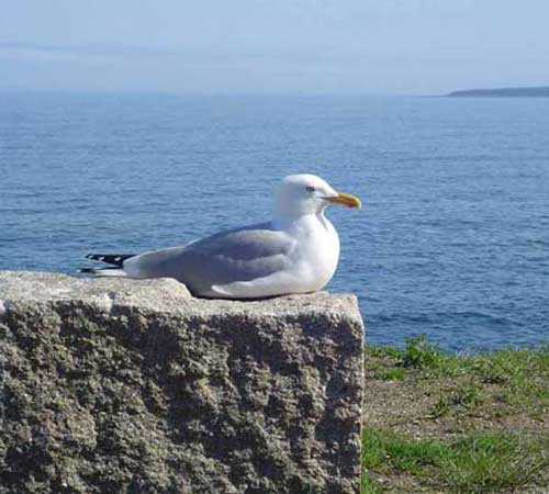 herring-gull-7.jpg