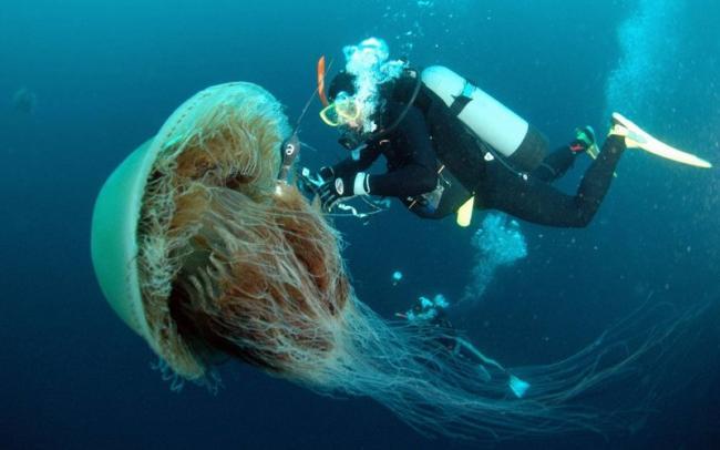meduza-cianeya.jpg