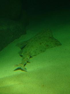 im244-360px-Squatina_squatina.004_-_Aquarium_Finisterrae.JPG