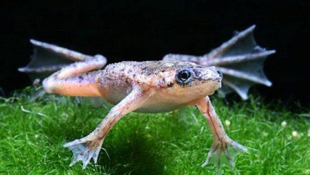 akvariumnye-lyagushki-opisanie-i-vidy-soderzhanie-i-uhod-23.jpg