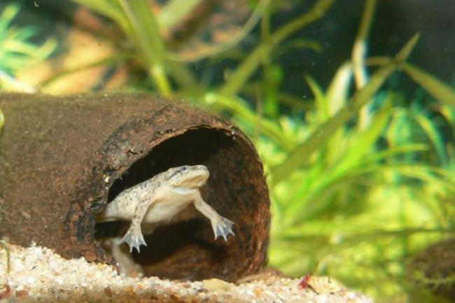 akvariumnye-lyagushki-opisanie-i-vidy-soderzhanie-i-uhod-13.jpg