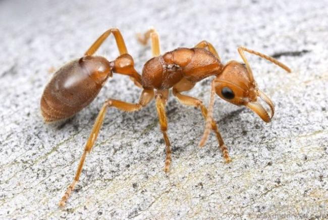 Nothomyrmecia-macrops.jpg