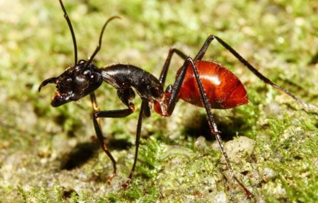 Camponotus-gigas.jpg