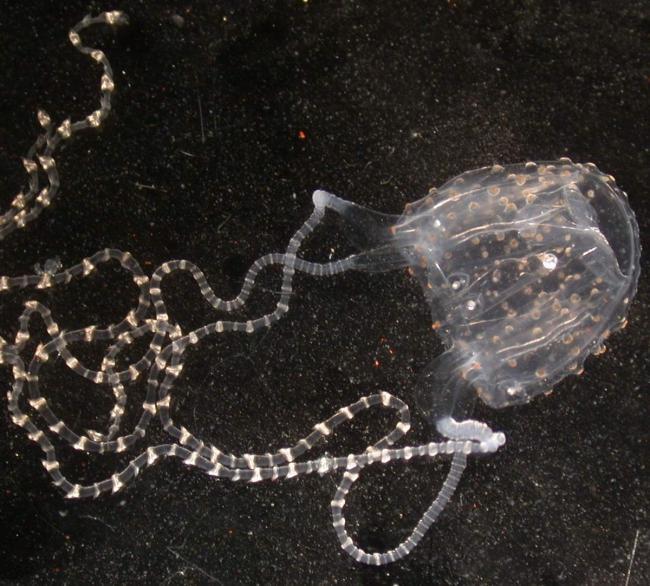 meduza-irukandzhi-jadovitoe-morskoe-sushhestvo-animalreader.ru-002.jpg