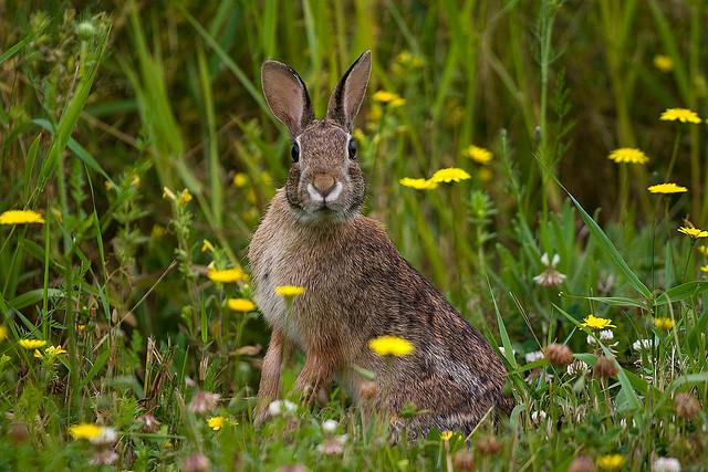 wild-rabbits.jpg