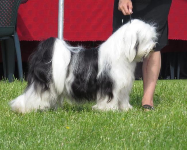 Tibetan_Terrier_1-e1552232621586.jpg