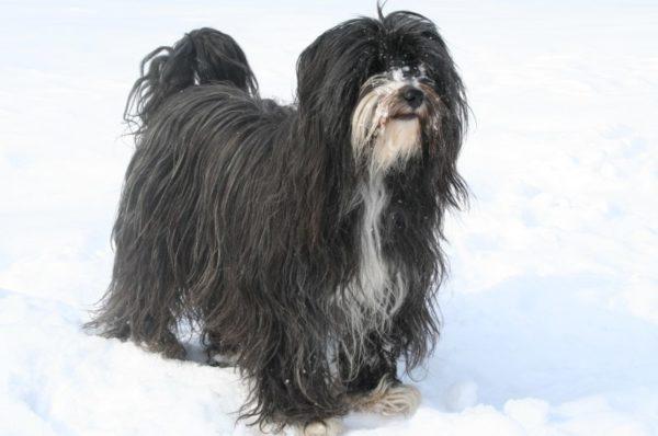 Tibetskij-terer-zimoj-e1524948382912.jpg