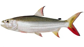 275px-Hydrocynus_vittatus_The_fishes_of_the_Nile_%28Pl._XVII%29_%286961607491%29.jpg