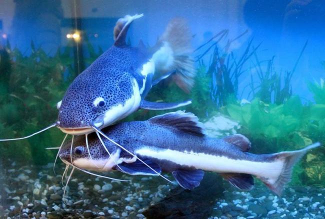 04-som-fish.jpg