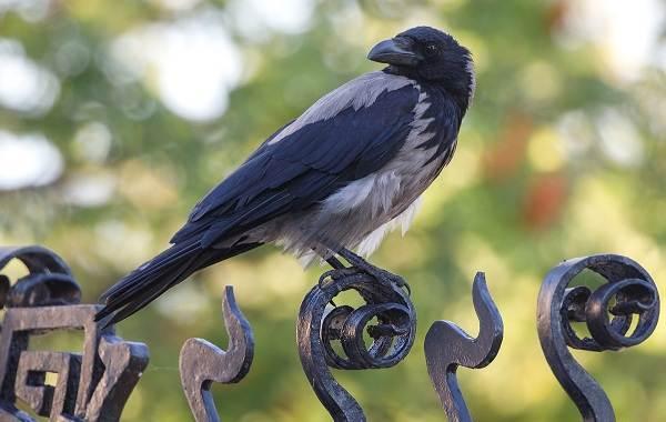 vorona-ptica-opisanie-osobennosti-obraz-zhizni-i-sreda-obitaniya-vorony-1.jpg