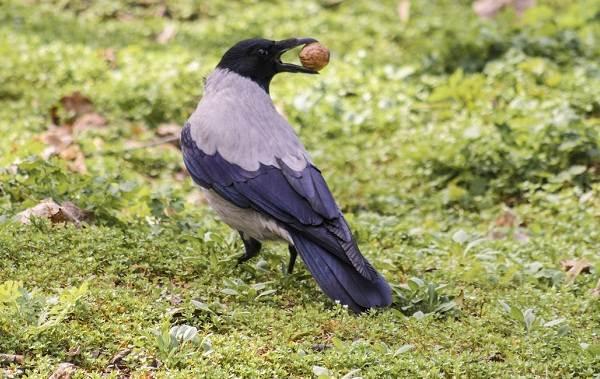 vorona-ptica-opisanie-osobennosti-obraz-zhizni-i-sreda-obitaniya-vorony-2.jpg