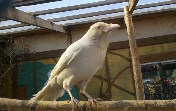 vorona-ptica-opisanie-osobennosti-obraz-zhizni-i-sreda-obitaniya-vorony-21.jpg