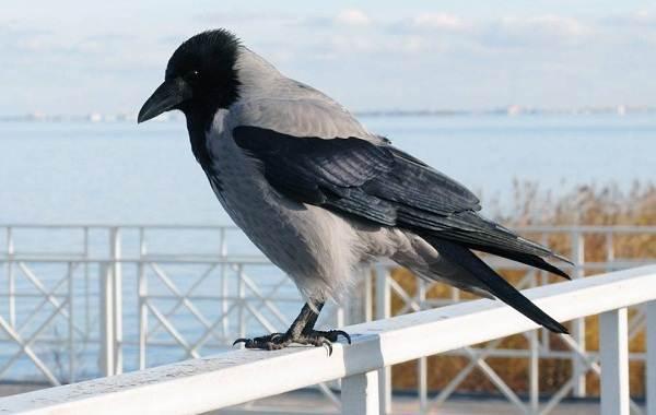 vorona-ptica-opisanie-osobennosti-obraz-zhizni-i-sreda-obitaniya-vorony-4.jpg