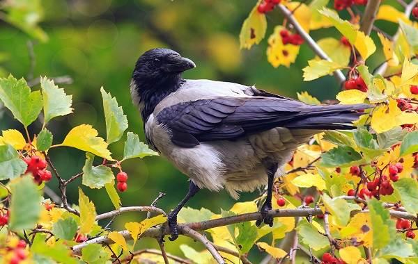 vorona-ptica-opisanie-osobennosti-obraz-zhizni-i-sreda-obitaniya-vorony-7.jpg