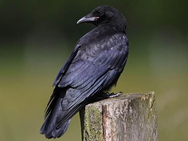 vorona-ptica-opisanie-osobennosti-obraz-zhizni-i-sreda-obitaniya-vorony-8.jpg