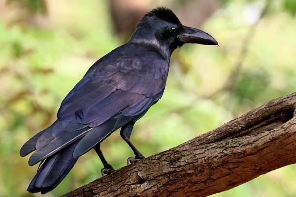 vorona-ptica-opisanie-osobennosti-obraz-zhizni-i-sreda-obitaniya-vorony-9.jpg