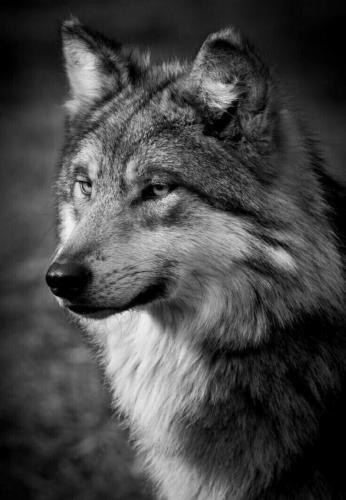 odinokij-volk16.jpg