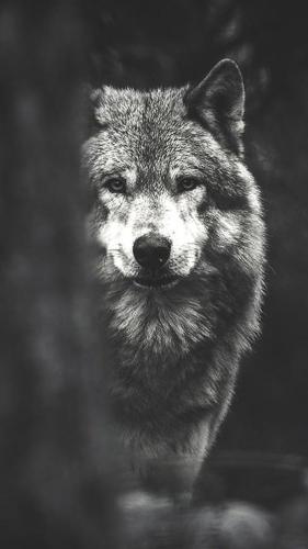 odinokij-volk1.jpg