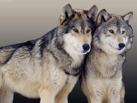 wolf_2_004_resize.jpg