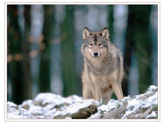 wolf_2_005_resize.jpg