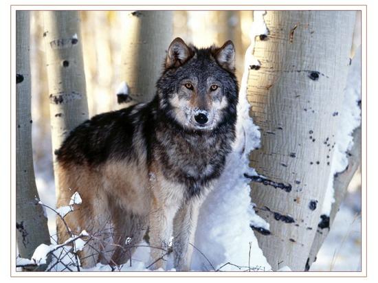 wolf_2_006_resize.jpg