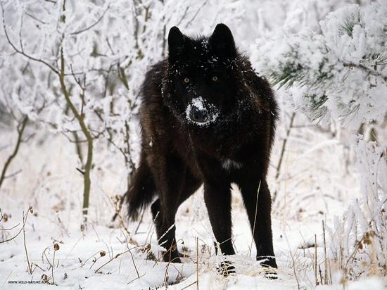 wolf_2_007_resize.jpg
