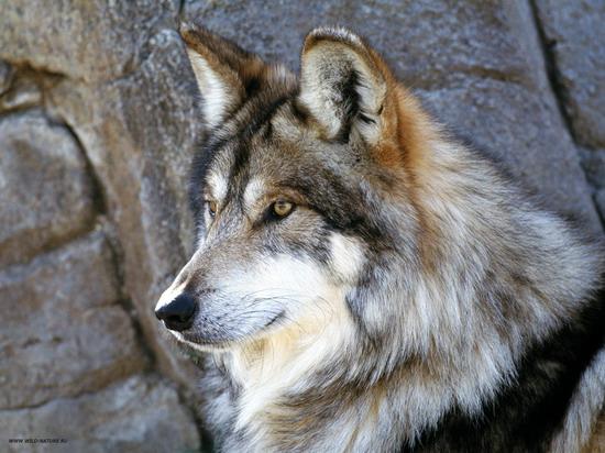 wolf_2_008_resize.jpg