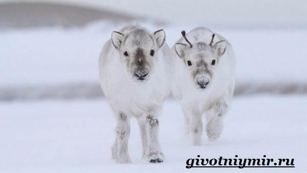 severnyj-olen-obraz-zhizni-i-sreda-obitaniya-severnogo-olenya-8.jpg