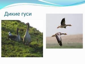 harakteristiki_dikih_gusey.jpg