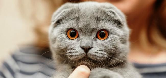 5-popular-flat-faced-cat-breeds-55460dd1f02401.jpg
