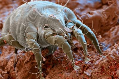 ushnoy-kleshch-pod-mikroskopom.jpg