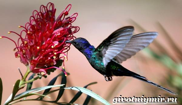 nektarnica-ptica-obraz-zhizni-i-sreda-obitaniya-nektarnicy-7.jpg