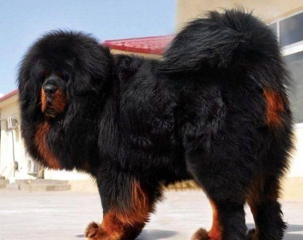 Tibetskiy-mastif.jpg