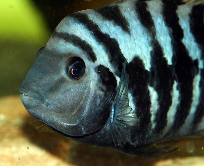 cihlida-zebra-vidy-s-opisaniem-i-soderzhanie-2.jpg