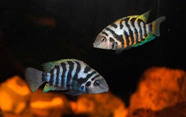 cihlida-zebra-vidy-s-opisaniem-i-soderzhanie-4.jpg
