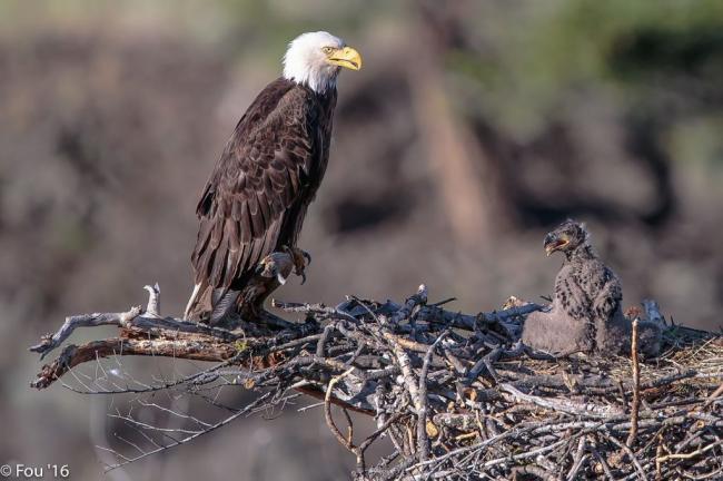 Back_to_the_Six_Mile_Lake_eagles_Haliaeetus_leucocephalus._feed_me_mom_._19159890706-1024x682.jpg