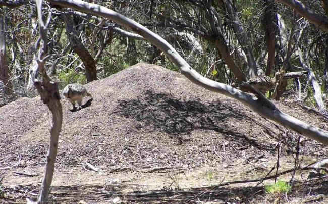 Malleefowls-at-nest3_Salt-Creek_DHaywood_Jan06-0620-1024x638.jpg