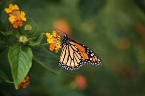 Monarch_butterfly_Butterflies_Insects_602561_600x399.jpg