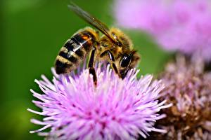 Closeup_Macro_Insects_Bees_Bokeh_602509_600x400.jpg