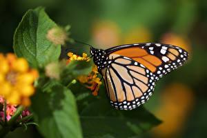 Monarch_butterfly_Butterflies_Insects_Closeup_602469_600x400.jpg