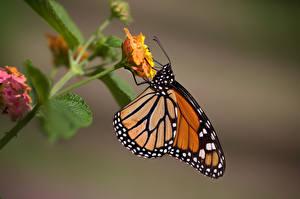 Monarch_butterfly_Butterflies_Insects_Closeup_602427_600x399.jpg