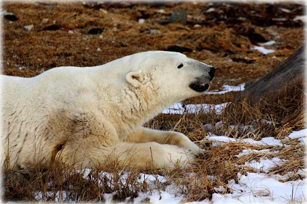 mogut-li-polyarnye-medvedi-adaptirovatsya-tak-kak-sreda-obitaniya-umenshaetsya.jpg