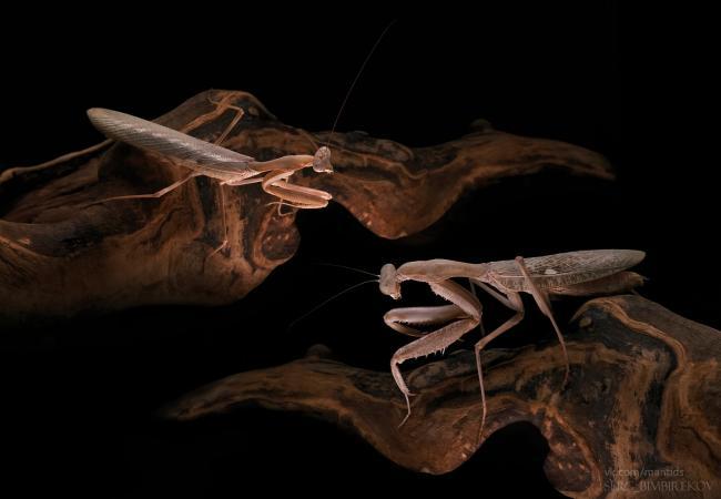 Sphodromantis-viridis-adult-pair.jpg