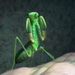 Shopdromantis-viridis-adult-female-angry-150x150.jpg