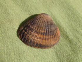 cerastoderma-glaucum_small_01.jpg