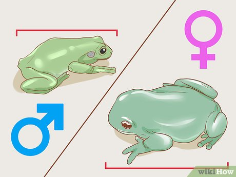 v4-460px-Tell-if-Your-Tree-Frog-Is-Male-or-Female-Step-1-Version-3.jpg