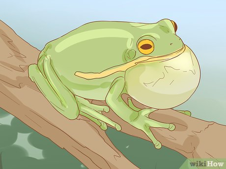 v4-460px-Tell-if-Your-Tree-Frog-Is-Male-or-Female-Step-2-Version-3.jpg